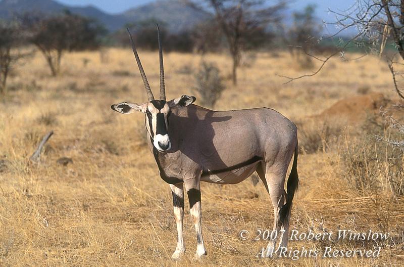 Oryx, Oryx gazella, Samburu National Reserve, Kenya, Africa