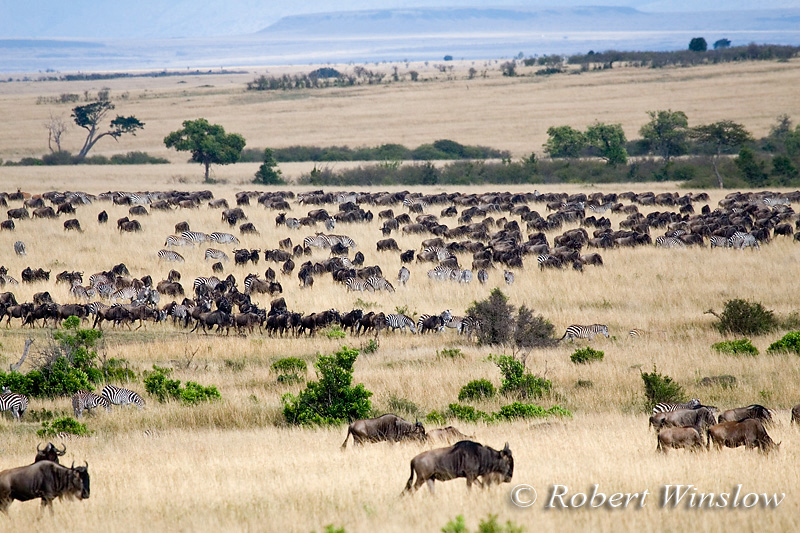 Wildebeests (Connochaetes taurinus) and Zebras, Masai Mara National Reserve, Kenya, Africa