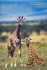 Two Newborn Baby Masai Giraffes (Giraffa camelopardalis tippelskirchi), Masai Mara National Reserve, Kenya