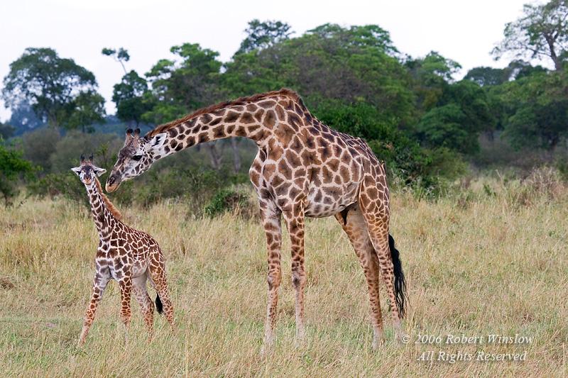 Mother and Baby Masai Giraffe (Giraffe camelopardalis tippelskirchi), Masai Mara National Reserve, Kenya, Africa