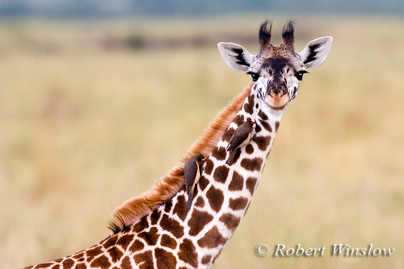 Young Masai Giraffe (Giraffe camelopardalis tippelskirchi) with Yellow-billed Oxpeckers on its Neck, Masai Mara National Reserve, Kenya, Africa