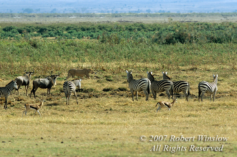 African Lion being watched by Plains Zebras, Wildebeest and Thomson's Gazelles, Amboseli National Park, Kenya, Africa