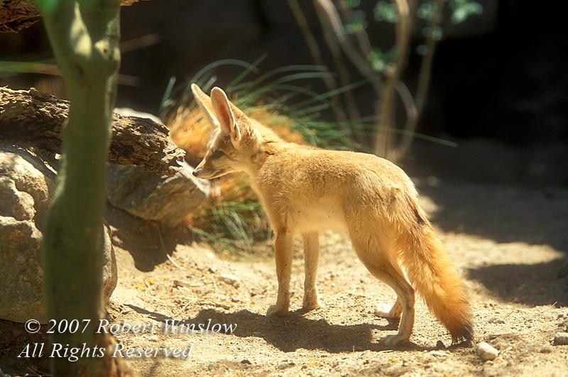 Fennec Fox, Vulpes (Fennecus) zerda, The Living Desert, Palm Desert, California
