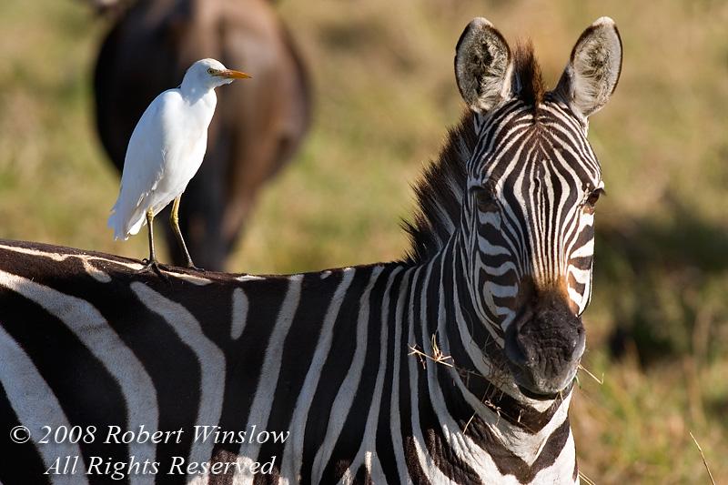 Cattle Egret, Bubulcus i. ibis, on the backs of a Plains Zebra, Equus burchellii, Masai Mara National Reserve, Kenya, Africa