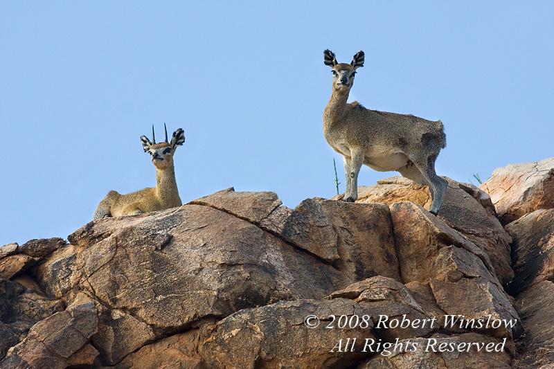 Male and Female Klipspringers, Oreotragus oreotragus, Samburu National Reserve, Kenya, Africa