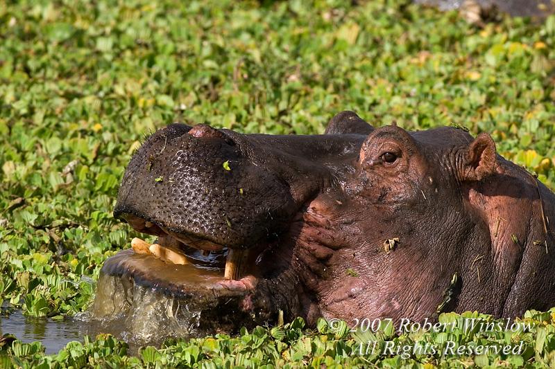 Hippopotamus, Hippopotamus amphibius, Mara River, Masai Mara National Reserve, Kenya, Africa