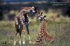 Young Masai Giraffe (Giraffe camelopardalis tippelskirchi),  Masai Mara National Reserve, Kenya, Africa