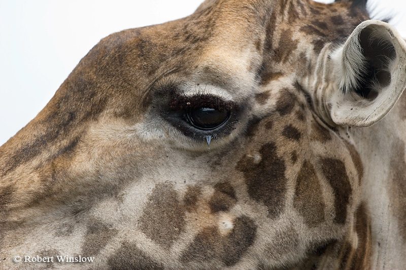 Eye, Detail, Masai Giraffe (Giraffe camelopardalis tippelskirchi), Nairobi National Park, Nairobi, Kenya, Africa