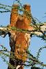 Reticulated Giraffe, Giraffe camelopardalis reticulata, Samburu National Reserve, Kenya, Africa, Artiodactyla Order, Giraffidae Family