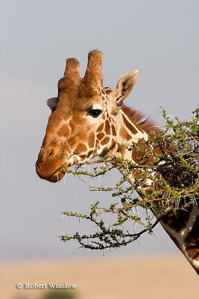 Reticulated Giraffe (Giraffe camelopardalis reticulata) Eating an Acacia Tree, Lewa Wildlife Conservancy, Kenya, Africa