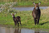Defassa Waterbuck, Kobud ellipsiprymnus defassa, Mother with Baby, Ol Pejeta Conservancy, Kenya, Africa