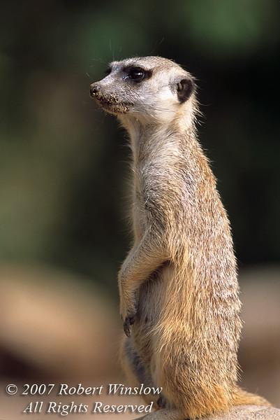 Suricata or Meerkat (Suricata suricatta), Captive, Southern Africa