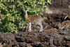 Klipspringer, Oreotragus oreotragus, Tsavo West  National Park, Kenya, Africa