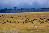 Plains Zebras and Wildebeests grazing on the Savannah, Masai Mara National Reserve, Kenya, Africa