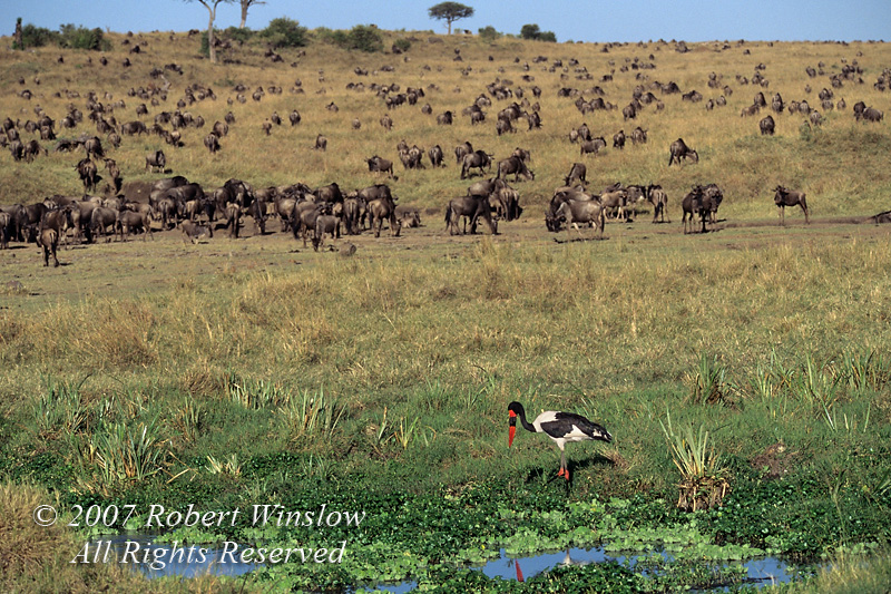 Female, Saddle billed Stork, Ephippiorhynchus senegalensis, Masai Mara National Reserve, Kenya, Africa