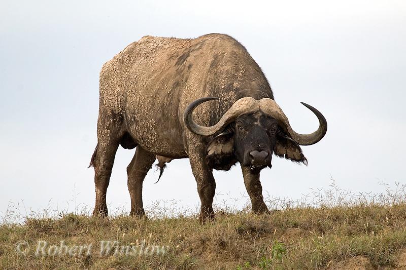 Male, African Buffalo or Cape Buffalo, Syncerus caffer, Lake Nakuru National Park, Kenya, Africa