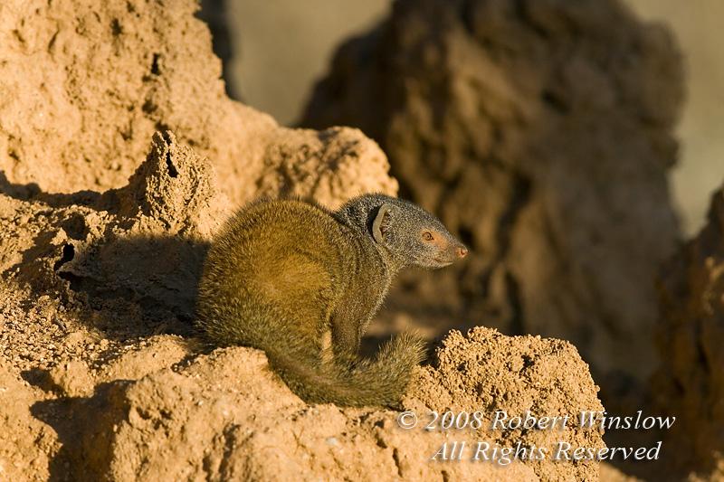 Dwarf Mongoose, Helogale parvula, On a termite mound, Samburu National Reserve, Kenya, Africa, The Smallest African Carnivore, Carnivora Order, Herpestidae Family