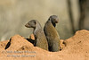 Dwarf Mongoose, Helogale parvula, On a termite mound, Samburu National Reserve, Kenya, Africa, The Smallest African Carnivore, Carnivora Order, Herpestidae Family