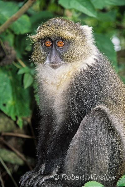 Mount Kenya Sykes' Monkey, Ceropithecus mitis kolbi, Mountain Lodge, Mount Kenya, Kenya, Africa