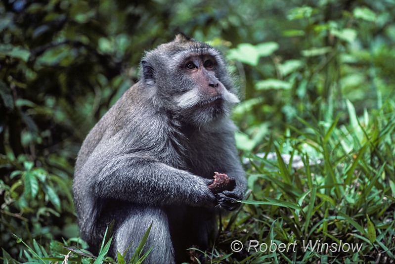 Crab-eating Macaque, Balinese Long-tailed Monkey, Long-tailed Macaque,  Macaca fascicularis, Ubud Monkey Forest, Bali, Indonesia