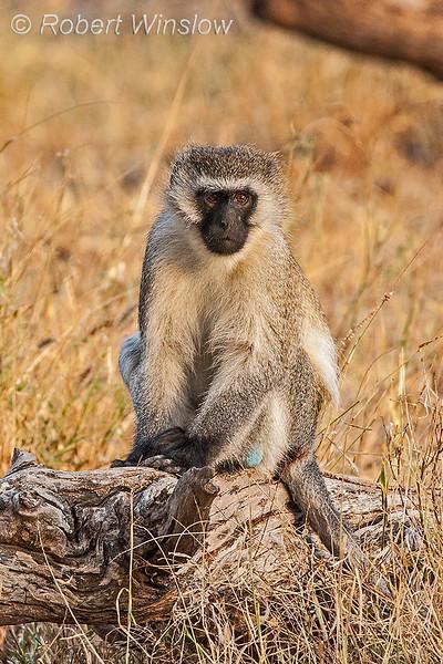 Vervet Monkey, Chlorocebus pygerythrus, Samburu National Reserve, Kenya, Africa