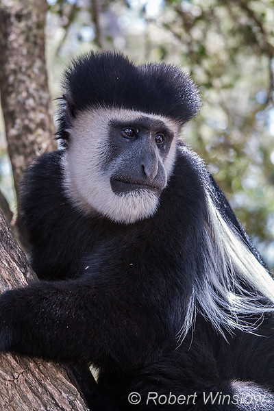 Eastern Black-and-white Colobus, also called Abyssinian Black-and-white Colobus, Colobus guereza, Aberdare Mountains, Kenya, Africa