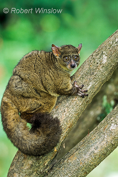 Greater Galago, aka Thick-tailed bushbaby, Otolemursp., controlled conditions