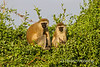 Two Vervet Monkeys, Chlorocebus pygerythrus, Samburu National Reserve, Kenya, Africa