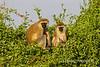 Two Vervet Monkeys, Chlorocebus pygerythrus, Samburu National Reserve, Kenya, Africa