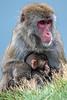 Mother and Baby, Snow Monkey, Japanese Macaque, Macaca fuscata, Royal Zoological Society of Scotland's Highland Wildlife Park, Kincraig, Scotland, United Kingdom, Asia