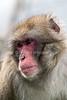 Snow Monkey, Japanese Macaque, Macaca fuscata, Royal Zoological Society of Scotland's Highland Wildlife Park, Kincraig, Scotland, United Kingdom