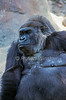 The western lowland gorilla, Gorilla gorilla gorilla, is a subspecies of the western gorilla, Gorilla gorilla, lives in montane, primary and secondary forests and lowland swamps in central Africa in Angola, Cameroon, Central African Republic, Congo, Equatorial Guinea and Gabon. It is the gorilla usually found in zoos, Captive