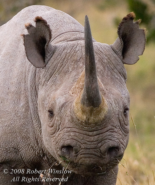 Black Rhinoceros, Diceros bicornis, Ol Pejeta Conservancy, Kenya, Africa