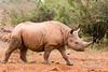 Young Black Rhinocerous (Diceros bicornis), Daphne Sheldrick Animal Orphanage, Nairobi, Kenya, Africa
