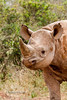 Young Black Rhinocerous (Diceros bicornis), Daphne Sheldrick Animal Orphanage, Nairobi, Kenya, Africa