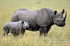 Mother and Baby Black Rhinoceros, Diceros bicornis, Masai Mara National Reserve, Kenya, Africa