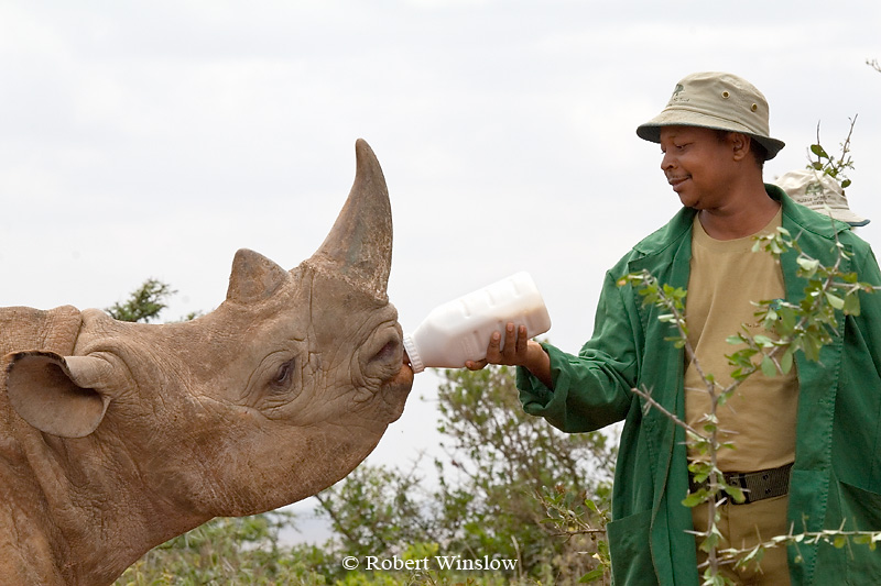 Young Black Rhinocerous (Diceros bicornis) Being Fed Milk, Daphne Sheldrick Animal Orphanage, Nairobi, Kenya, Africa