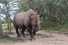 Black Rhinoceros (Diceros bicornis), Morani, Ol Pejeta Conservancy, Kenya, Africa