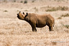 Black Rhinocerous (Diceros bicornis) calf, Lewa Wildlife Conservancy, Kenya, Africa