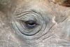 Eye, Black Rhinoceros (Diceros bicornis), Morani, Ol Pejeta Conservancy, Kenya, Africa