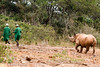 Young Black Rhinocerous (Diceros bicornis) Following Keepers, Daphne Sheldrick Animal Orphanage, Nairobi, Kenya, Africa