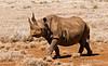 Female Black Rhinocerous (Diceros bicornis), Lewa Wildlife Conservancy, Kenya, Africa