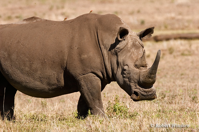White Rhinoceros (Ceratotherium simum) with two Red-billed Oxpeckers on its back,  Lewa Wildlife Conservancy, Kenya, Africa