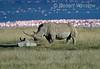 Mother and Baby, White Rhinoceros, Ceratotherium simum, Lake Nakuru National Park, Kenya, Africa