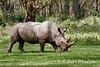 White Rhinoceros (Ceratotherium simum), Lake Nakuru National Park, Kenya, Africa