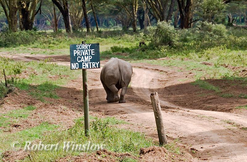 White Rhinoceros, Ceratotherium simum, Going Down Private Road, Lake Nakuru National Park, Kenya, Africa