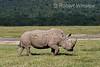Black Rhinoceros, Diceros bicornis, Lake Nakuru National Park, Kenya, Africa
