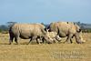 White Rhinoceros, Ceratotherium simum, Ol Pejeta Conservancy, Kenya, Africa