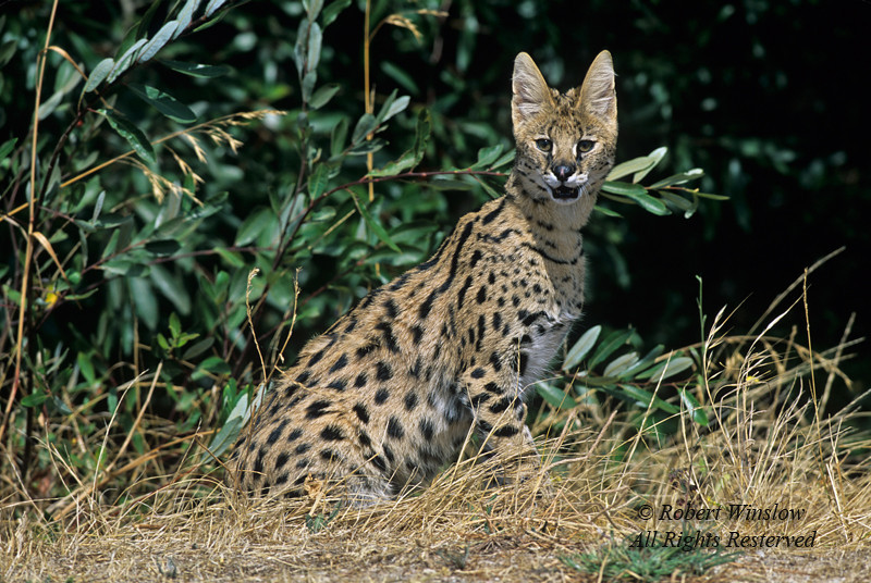 Serval, Leptailurus serval, Controlled Conditions