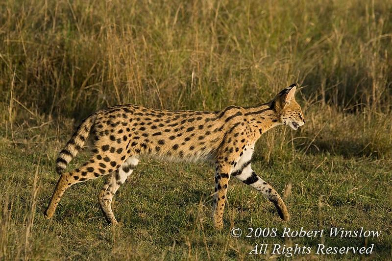 Serval, Leptailurus serval, Red Oat Grass, Masai Mara National Reserve, Kenya, Africa, Order Carnivora, Family Felidae